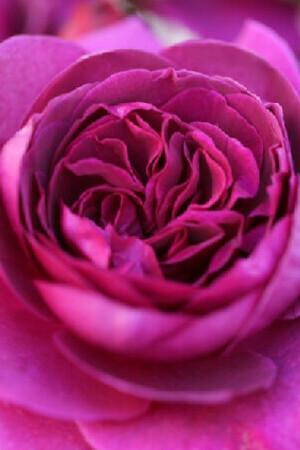 Rosa Timeless Purple