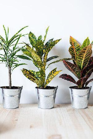 Croton Collection