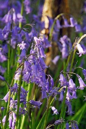 Hyacinthoides English Bluebell