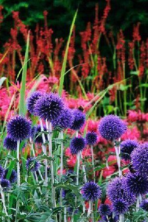 Echinops Collection