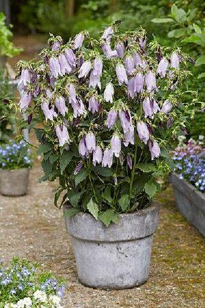 Campanula Country Bells Light Blue