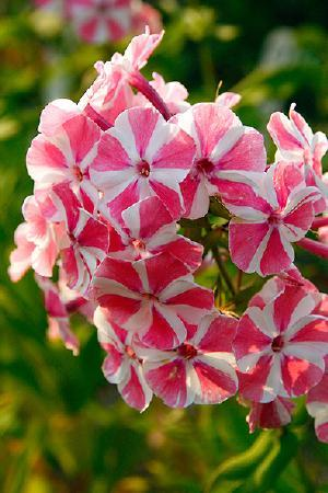 Phlox paniculata collection