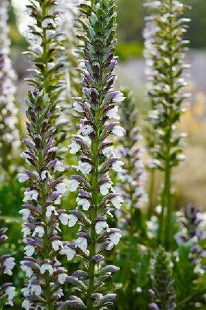 Acanthus Summer Beauty