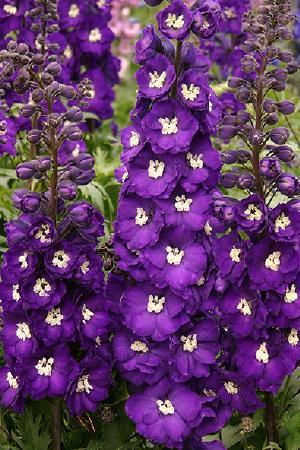 Delphinium New Millennium Collection