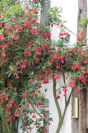 Crinodendron Collection