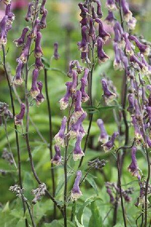 Aconitum Purple Sparrow