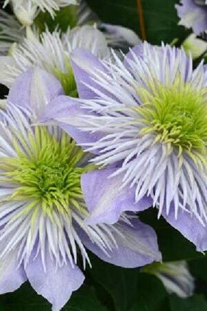 Clematis Regal Double Crystal Fountain