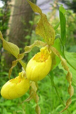 Cypripedium parviflorum var pubescens