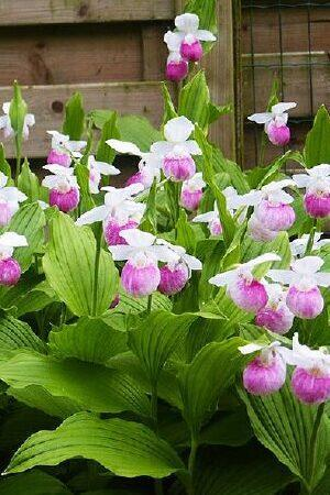 Cypripedium Collection