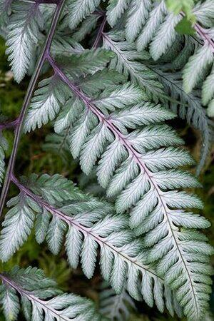 Athyrium Collection
