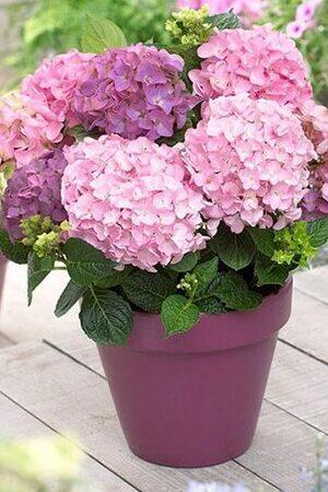 Hydrangea So Long Rosy Coumont