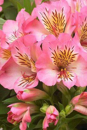 Alstroemeria Duchesses D\'Anjou Collection