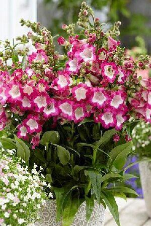 Penstemon Pentastic Rose