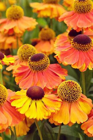 Helenium Sahin\'s Early Flowerer