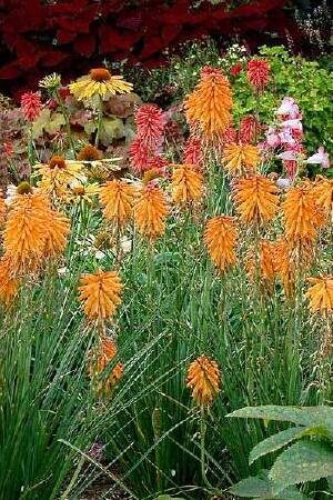 Kniphofia Poco Collection