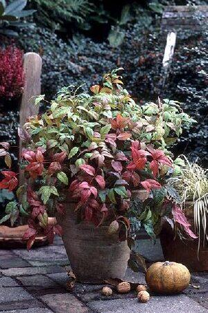 Nandina Domestica Collection