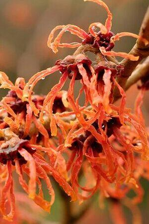 Hamamelis intermedia mixed Collection
