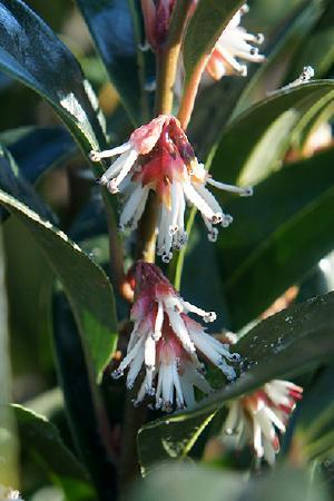Sarcococca Winter Gem (Christmas Box)