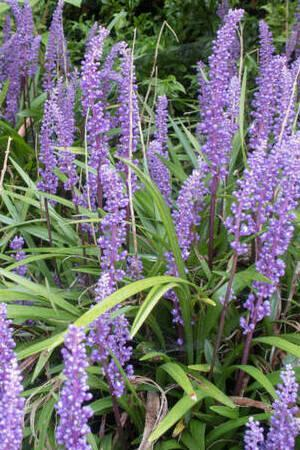 Liriope muscari Collection