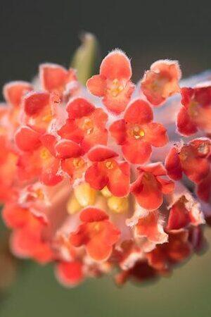 Edgeworthia Red Dragon