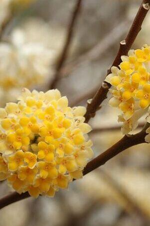 Edgeworthia Collection