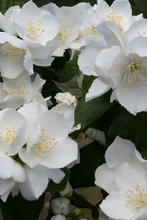 Philadelphus Collection