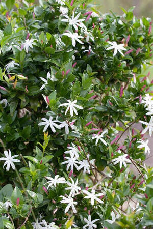 Jasminum laurifolium Angel Wings