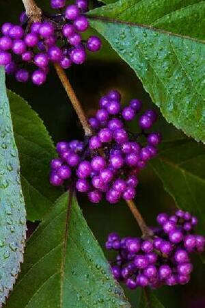 Callicarpa Mixed Collection