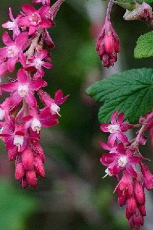 Ribes Flowering Duo