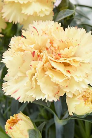 Dianthus Yellow Bling Bling