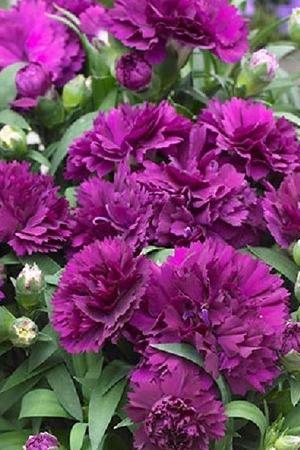 Dianthus Sunflor Collection