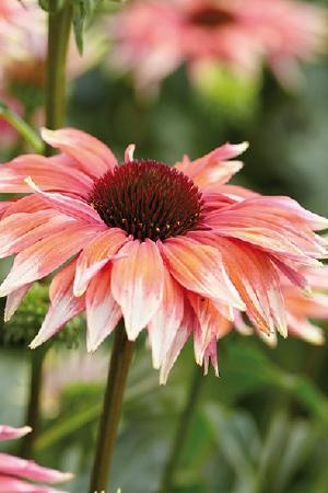 Echinacea Meadow Mama Collection