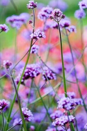 Hardy Verbena Collection