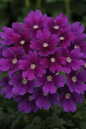 Verbena Endurascape Collection