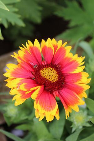 Gaillardia Mixed Collection
