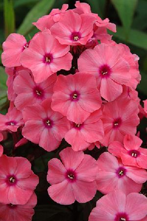 Phlox paniculata Sweet Summer Dream
