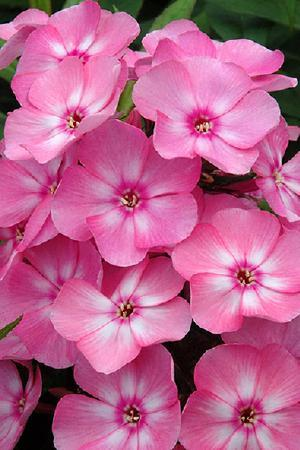 Phlox paniculata Sweet Summer Candy