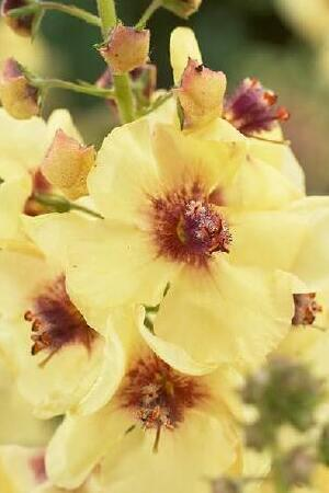 Verbascum Jackie in Yellow