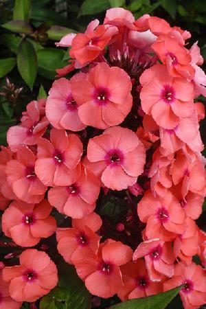 Phlox paniculata Younique Orange