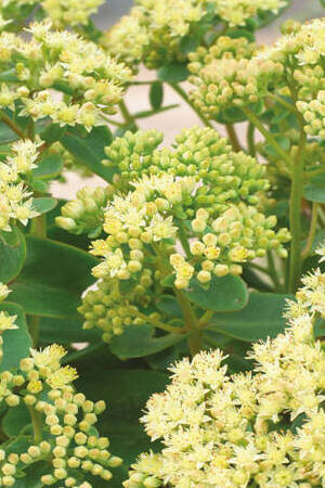 Sedum hybride Honey Gold