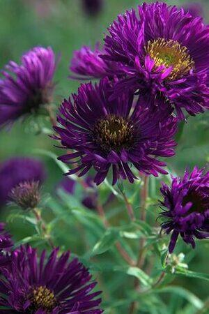 Aster Novae-angliae Collection