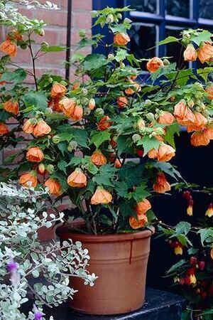 Abutilon Collection