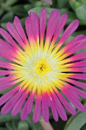 Delosperma Suntropic Purple