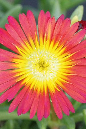 Delosperma Suntropic Red