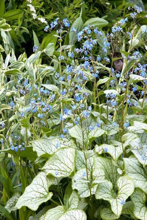 Brunnera macrophylla Collection