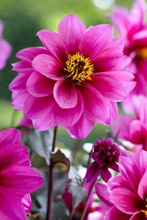 Dahlia Dreamy Collection