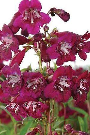 Penstemon Eleanor Young