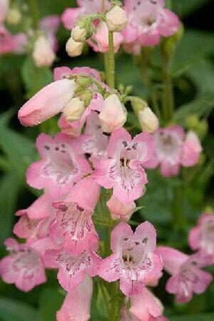 Penstemon Capricorn Moon