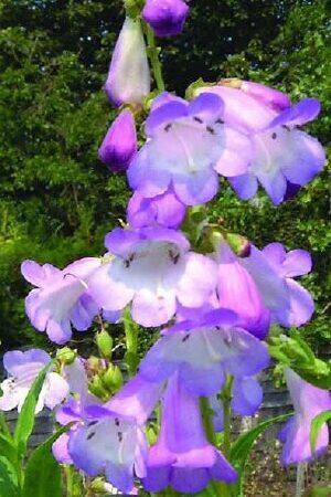 Penstemon Blueberry Ice