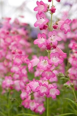 Penstemon Tayberry Ice